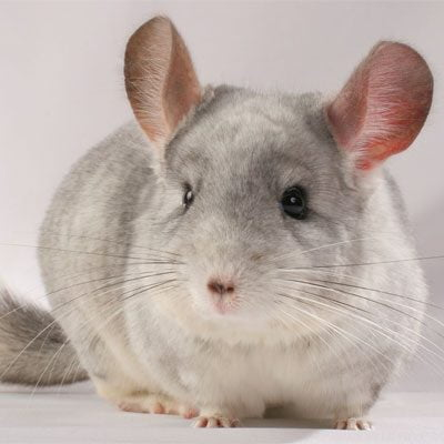 Chinchilla & Degus