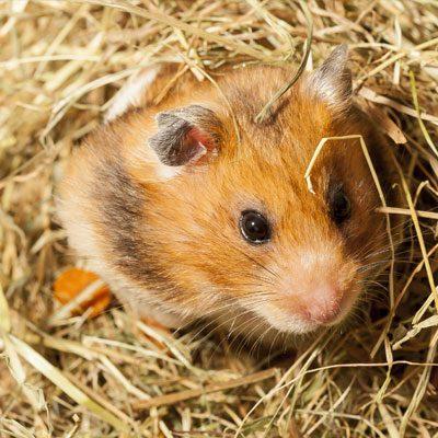 Hamsters/ Gerbils/ Rats