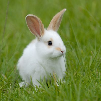 Rabbits/Guinea Pigs